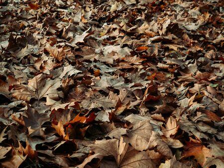 Field full of fallen maple leaves in autumn Фото со стока