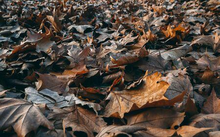 Maple leaves in late autumn - closeup shot