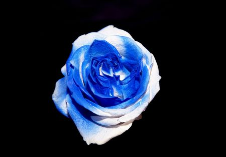 Single blue rose Stock Photo - 3442617