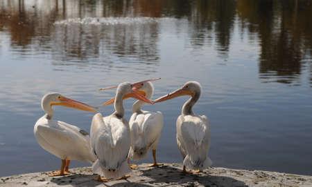 Pelican Discussion Imagens