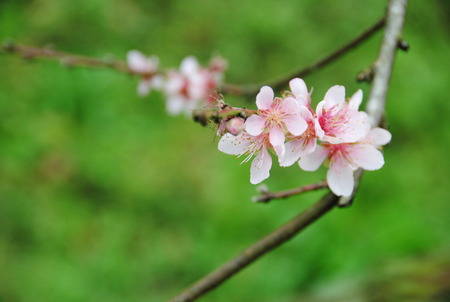 plum flower: white-pink plum flower from north part of Thailand