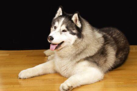 mans best friend: Beautiful pet dog, a mans best friend Stock Photo