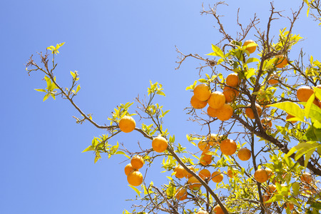 Orange tree, closeup of branches laden with fruit
