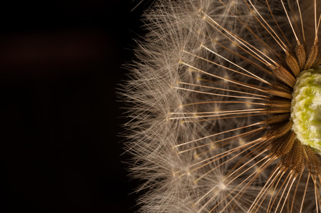 Closeup of dandelion - natural background. Standard-Bild