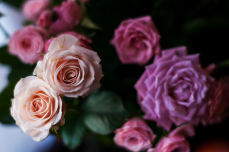 Pink and white roses background. Stok Fotoğraf