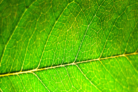 Texture of a green leaf as background.