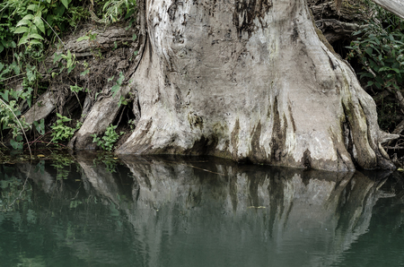 The Roots Of An Old Tree In Water.