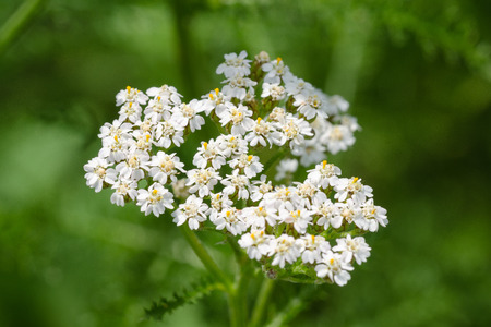 Yarrow Or Scoria Herb (Achillea Millefolium) Is A Perennial Herbaceous Plant. Shallow Depth Of Field. Close-Up. Macro.