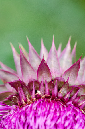 Needles. Herbaceous Plants Milk Thistle (Silybum Marianum). Shallow Depth Of Field. Close-Up. Macro. Stock Photo