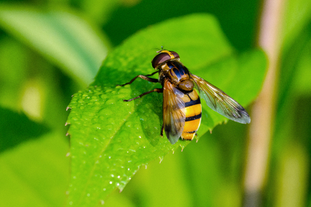 Fly (Syrphidae) From The Genus Didea. Sits On A Leaf With Dew In The Early Morning.