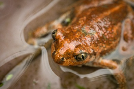 True Toad (Bufo Bufo) In Water. Macro. Close-Up.