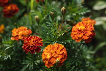Marigold Flowers. Macro. Close-Up. Depth Of Field.