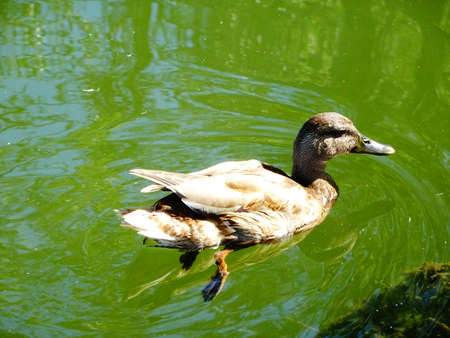 gosling duck