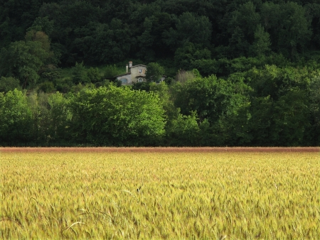 wheat field and old farm house photo