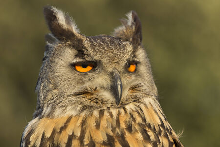 Bubo Bubo owl photo