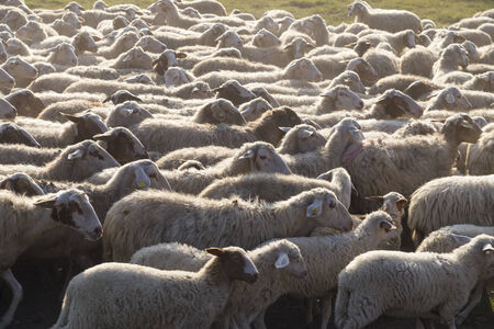 ovine: Sheeps in an urban park in Rome, Italy