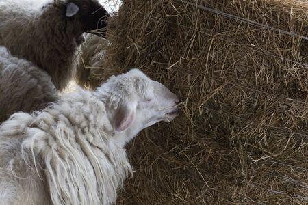 sheeps: sheeps Stock Photo