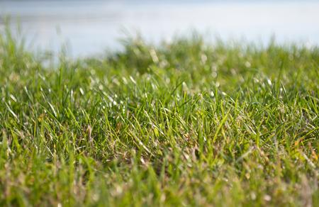 sea oats: Calm Sea Oats Grass