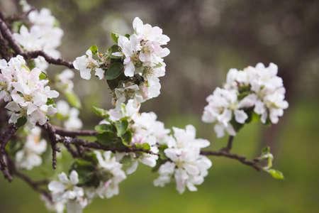 in bloom: apple tree in bloom