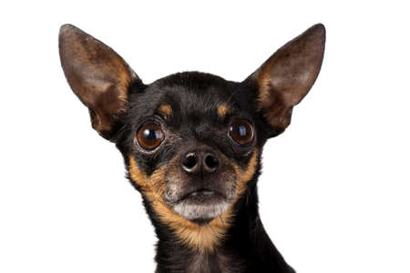 toy terrier: toy terrier mini