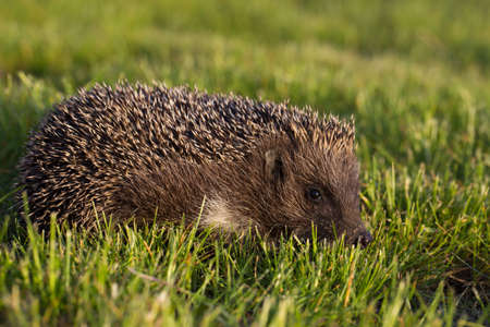 prickles: hedgehog in the grass Stock Photo