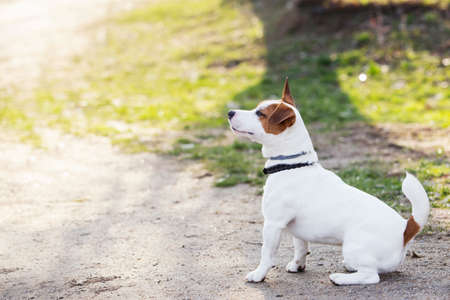 sitting on the ground: Jack Russell terrier dog is sitting on a ground Stock Photo