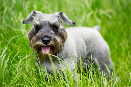 pampered: the dog breed miniature schnauzer on a green grass