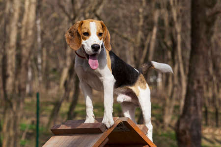 obstacle: the dog breed beagle overcomes an obstacle
