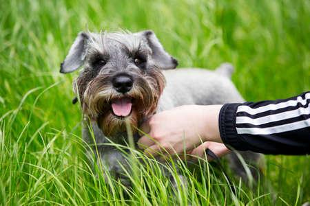 miniature breed: la raza de perro schnauzer miniatura en una hierba verde