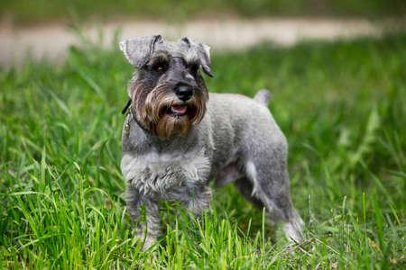miniature breed: the dog breed miniature schnauzer on a green grass