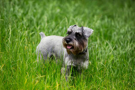 miniature breed: the dog breed miniature schnauzer on a green grass