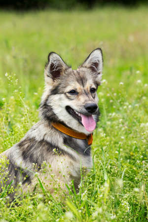 pampered: the dog breed Visigoth Spitz is sitting on green grass