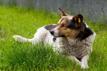 pooch: pooch without one eye is on the green grass Stock Photo