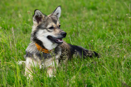 pampered: the dog breed Visigoth Spitz is lying on green grass