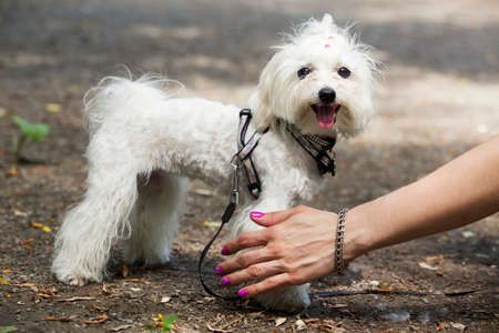 lapdog: the dog breed maltese bichon is playing