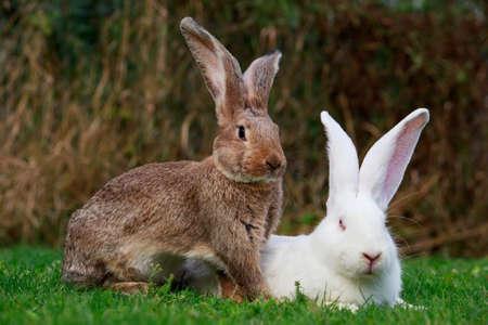 Coniglio bianco e grigio su un prato verde Archivio Fotografico - 66104394