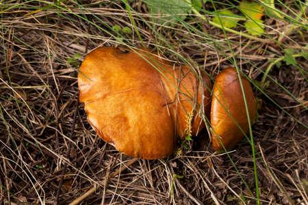 mushrooming: the edible mushrooms in a green grass Stock Photo