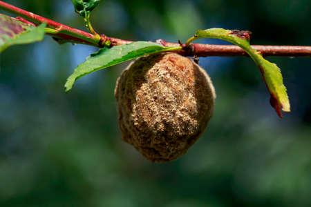 decompose: the rotten peach on a branch