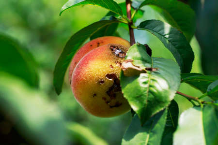 the rotten peach on a branch