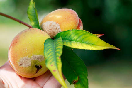 puckered: the rotten peach hanging on a branch
