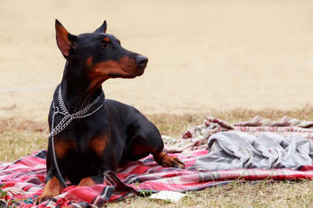 the dog breed Doberman Pinscher is lying on red blanket Stock Photo