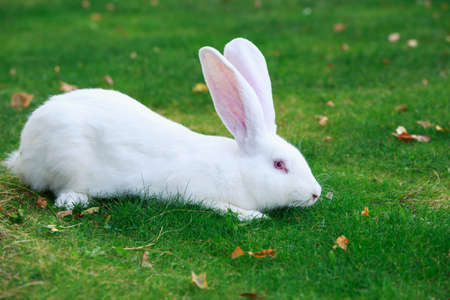 the white rabbit on a green grass Stock Photo