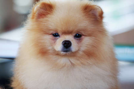 long nose: Beautiful Pomeranian dog on a gray background Stock Photo