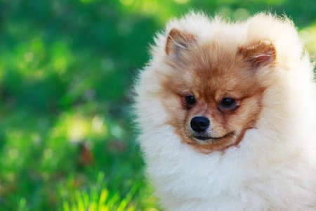 long nose: Beautiful pomeranian dog on the green grass Stock Photo