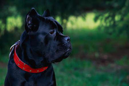De hond ras Italiaanse riet corso op een groen gras