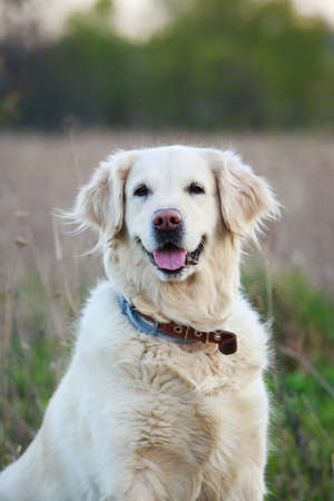 the dog breed Golden retriever on a green grass Stock Photo