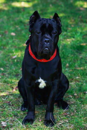 cane collars: The dog breed italiano cane corso on a green grass Stock Photo