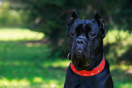 The dog breed italiano cane corso on a green grass Stock Photo