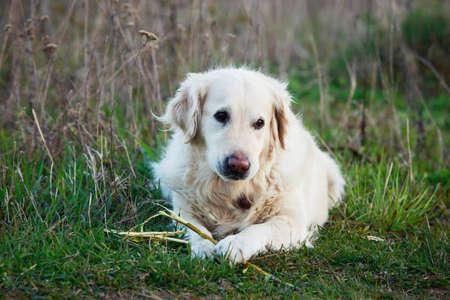 long nose: the dog breed Golden retriever on a green grass Stock Photo