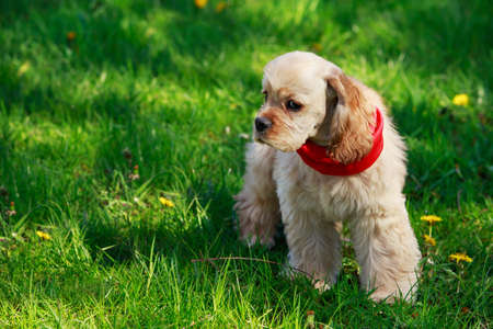 long nose: The puppy American Cocker Spaniel on a green grass